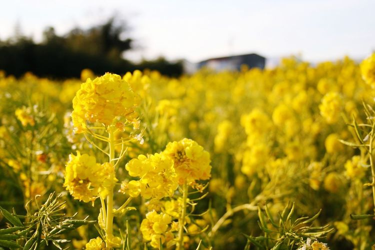 Tahara Aichi Japan Yellow Plant Flower Beauty In Nature Flowering Plant Growth Fragility Close-up Nature Focus On Foreground Vulnerability  Freshness Land Flower Head No People Inflorescence Oilseed Rape Sky Day Field