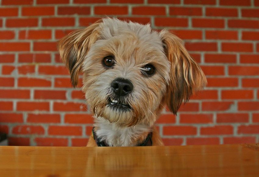 little cute dog is sitting at the table in the garden Dogs Maltese Dog Sitting Animal Themes Brick Wall Close-up Cute Day Dog Headshot Kopf Looking At Camera Malteser Mammal Mixed No People One Animal Outdoors Pets Portrait Red Süss Table