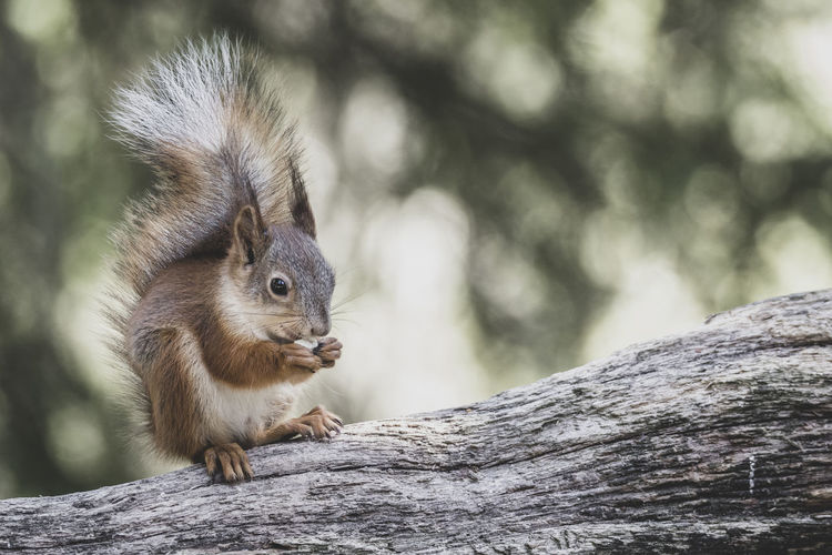 Red Squirrel (Sciurus vulgaris) eating a nut. Animal Animal Themes One Animal Mammal Animal Wildlife Rodent Animals In The Wild Close-up Vertebrate No People Squirrel Nature Outdoors Looking Away Whisker