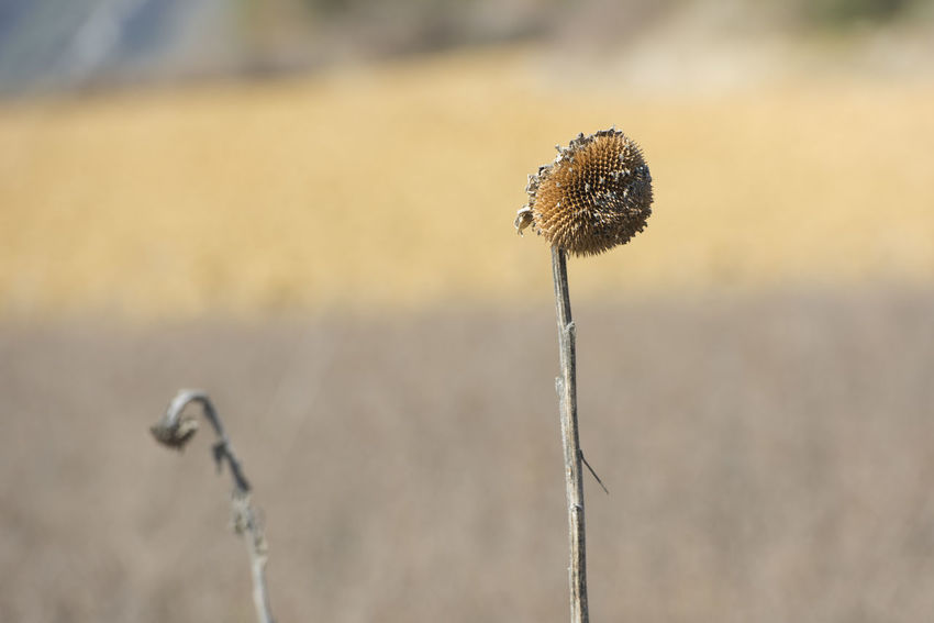 Pair of dried out sunflowers on early spring Background Defocus Beauty In Nature Bokeh Photography Brown Burgos Castilla Y León Close-up Couple Day Dry Flower  Dry Grass Dry Sunflower Focus On Foreground Frias Meadow Nature No People Outdoors Pair Plant Separation SPAIN Sunflowers Yellow