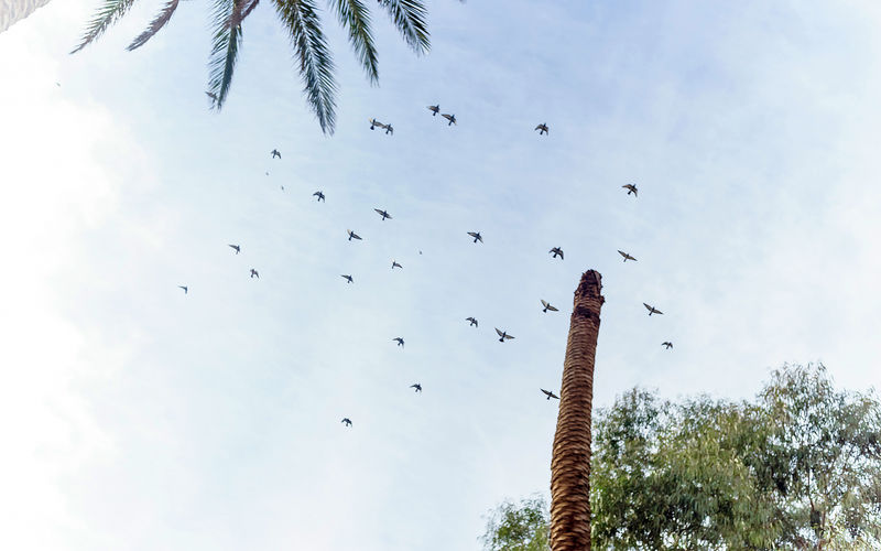 // Still Life Animal Animal Themes Animal Wildlife Animals In The Wild Bird Birds Cloud - Sky Day Flock Of Birds Flying Group Of Animals Large Group Of Animals Low Angle View Mid-air Nature No People Outdoors Palm Tree Plant Sky Tree Vertebrate
