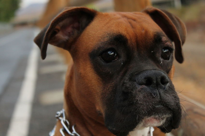 Boxer Animal Themes Boxer Dogs Close-up Day Dog Domestic Animals Focus On Foreground Looking At Camera Mammal No People One Animal Outdoors Pets Portrait