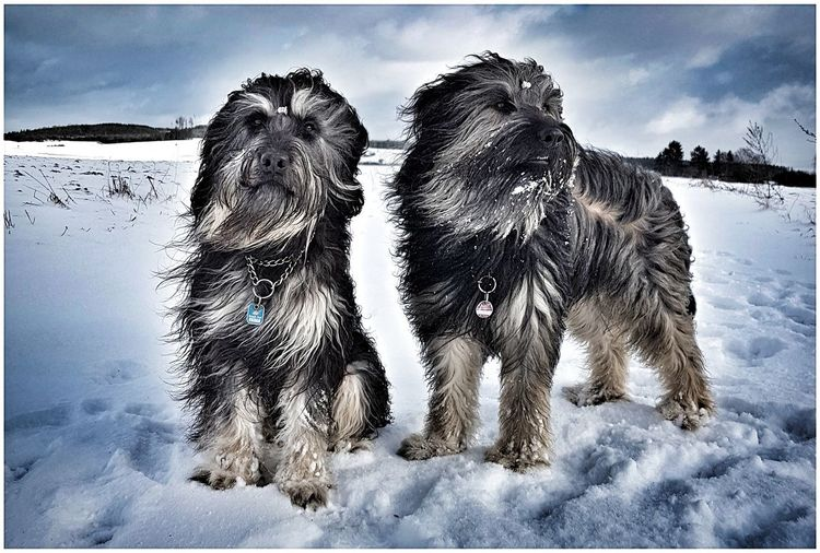 Snow Cold Temperature Winter Outdoors Nature Landscape Dog Dog Walking Gos D'atura Bentjesgosaugustin I Love My Dog Winterwalk Dogs Of Winter Dogs Ilovemydogs