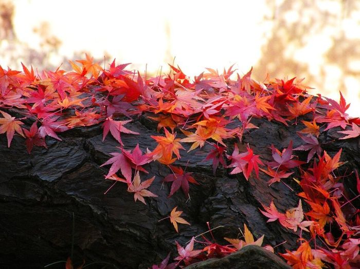 Autumn Leaf Change Maple Leaf Nature Red Maple Tree Orange Color Beauty In Nature Day No People Outdoors Maple Growth Close-up Fragility Multi Colored Sky Autumn🍁🍁🍁 Autumn Leaves Amazing Springtime Beautiful Nature Beauty In Nature Garden