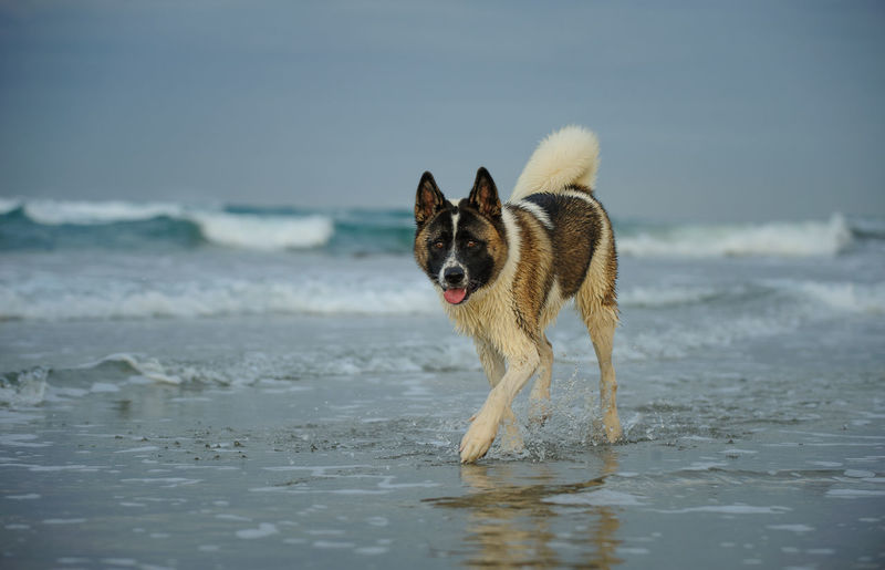 Portrait of japanese akita walking on shore at beach