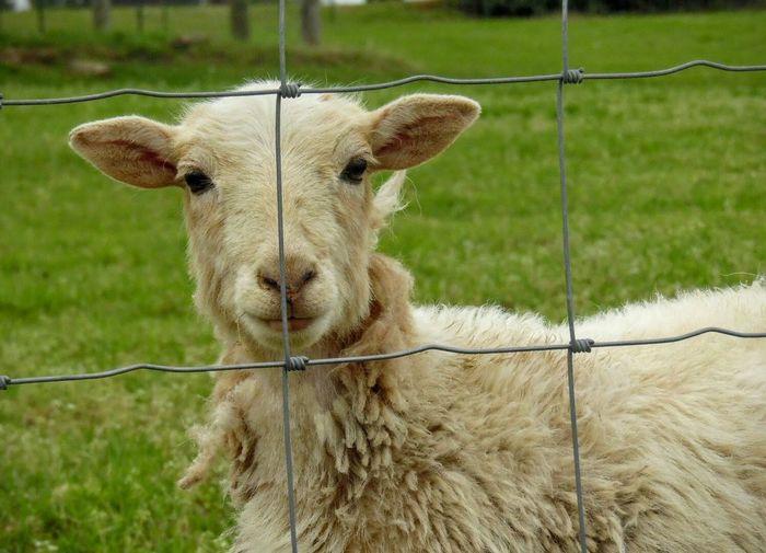 Lifestock Farm Life Goat Looking At Camera Animal Themes One Animal Field