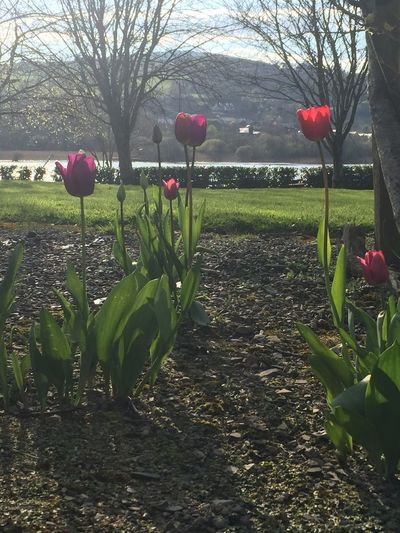Spring Is Here 🌞 Tulips🌷 Taking Photos Taking In The View. Out For A Stroll No Filter Nature Nature Photography Nature On Your Doorstep