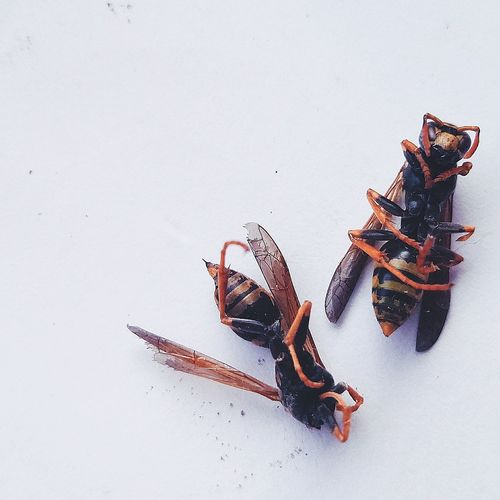 White Background Wasps Death Together Rest AtPeace Life Bugs Nature Animals Close-up Above View Insects  Amazing Precious EyeEm Selects