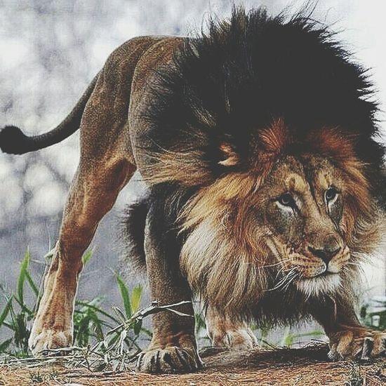 Love Animal , King