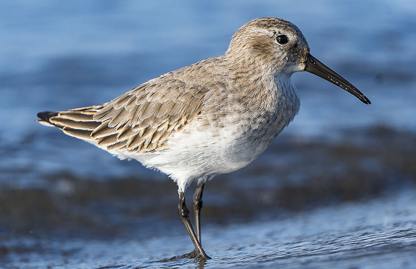Animal Themes Animal Wildlife Animals In The Wild Bird Close-up Day Dunlin Focus On Foreground Nature No People One Animal Outdoors Seabirds Waders Water