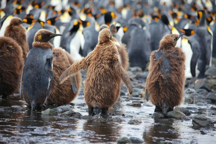 King Penguins Animal Themes Animal Wildlife Animals In The Wild Bird Day King Penguins Large Group Of Animals Mammal Nature No People Outdoors Togetherness Water Young Bird