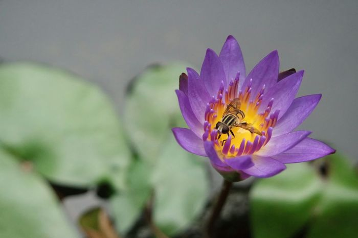 A bee and its lotus Flower Insect Petal Purple Fragility Plant Nature One Animal Freshness Animal Themes No People Animal Wildlife Animals In The Wild Beauty In Nature Butterfly - Insect Outdoors Close-up Flower Head Growth Day bee Beauty In Nature