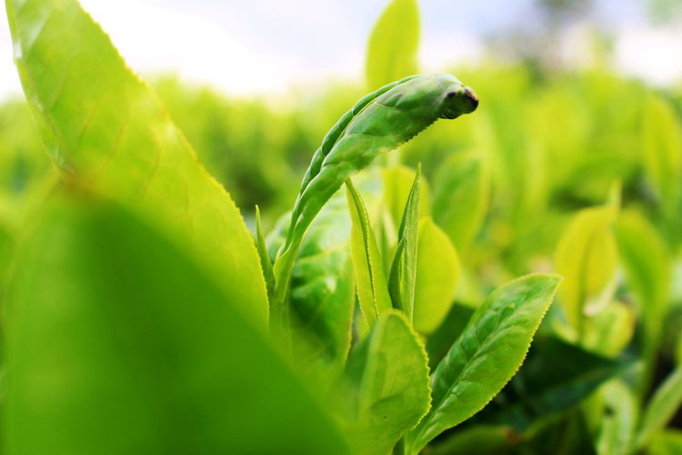 Close-up of fresh green leaves on plant in field