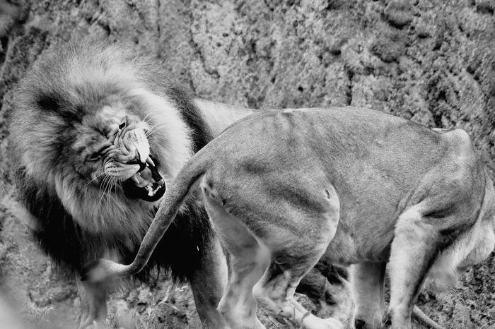 Lion Lions Lioness Savage Félin  Animals Animal Themes Couple Day No People Outdoors Zoodebeauval Beauval Zoo Zoo Animals  Portrait Animalportrait Noir Et Blanc Noiretblanc Blackandwhite Black And White Black & White