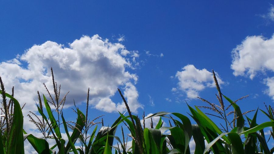 Low angle view of plants on field against sky