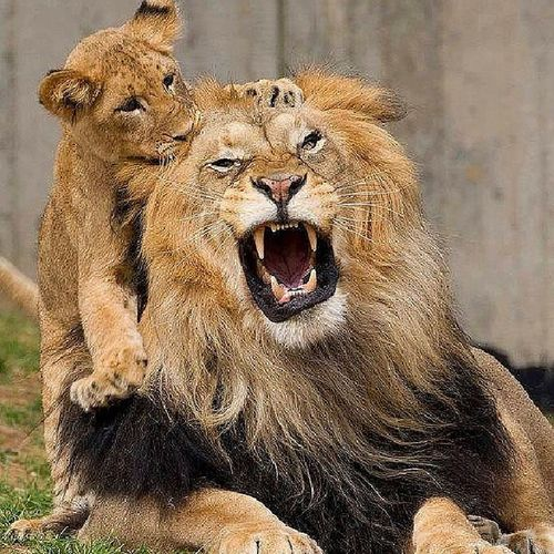 Aslan Lion Cub Animal cute