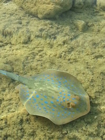 Sea Life UnderSea Bluespotted Stingray