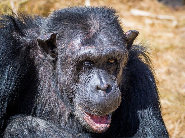 Close-up portrait of chimpanzee winking, zambia, africa
