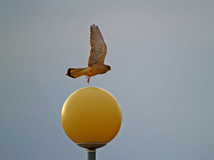 Low Angle View Of Bird Flying Over Yellow Spherical Street Light Against Clear Sky