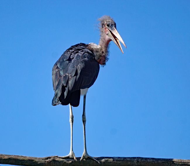 Animal Animal Neck Animal Themes Animal Wildlife Animals In The Wild Beak Bird Blue Clear Sky Copy Space Day Full Length Heron Low Angle View Nature No People One Animal Outdoors Perching Sky Vertebrate