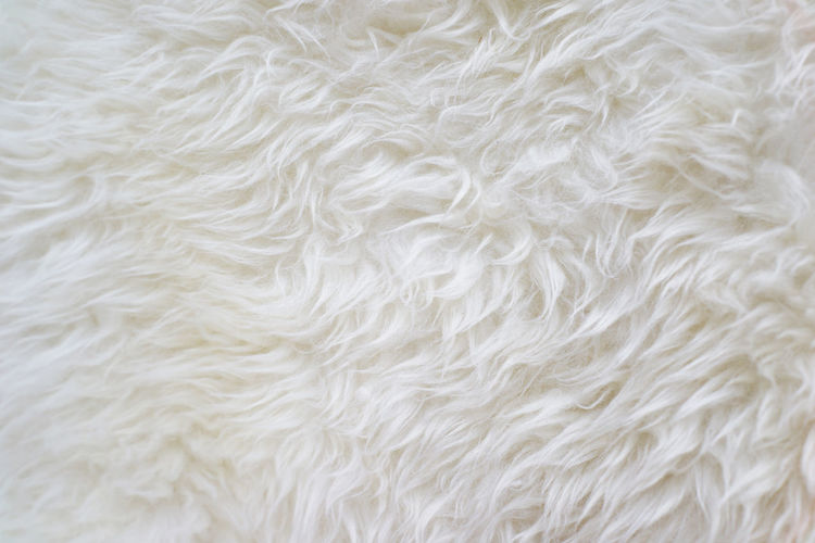 Close up at white fur texture background Full Frame No People Backgrounds Animal Domestic Close-up White Color One Animal Animal Themes Indoors  Animal Hair Textile Vertebrate Animal Body Part Livestock Textured  Canine Softness Furniture White Textured  Surface Level Smoothie Fashion Details Decoration Hairy  Backdrop