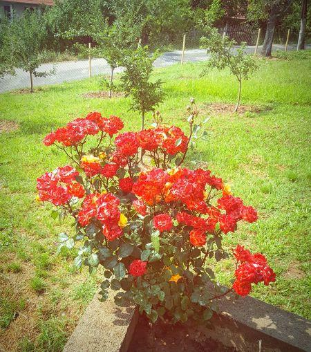 🥀 Rose -