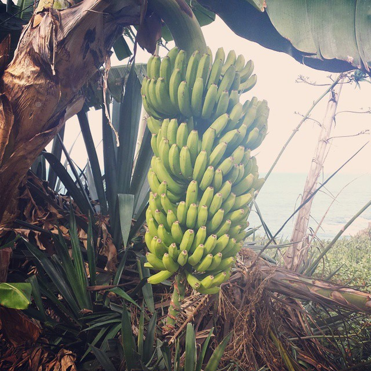 growth, nature, banana, no people, banana tree, plant, green color, field, day, fruit, outdoors, beauty in nature, tree, freshness, close-up