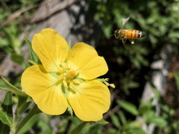 Honeybee about to land on a yellow flower. HoneyBee Pollen Insect Flower Flying Landing Targeting Yellow Flower Petal Animal Themes Focus On Foreground Horizontal Yellow Pollination Pollen Package