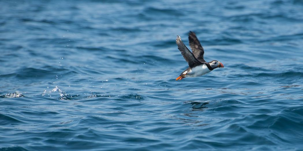 Isles of Scilly Puffin Animal Sea Outdoors Summer Blue Bird