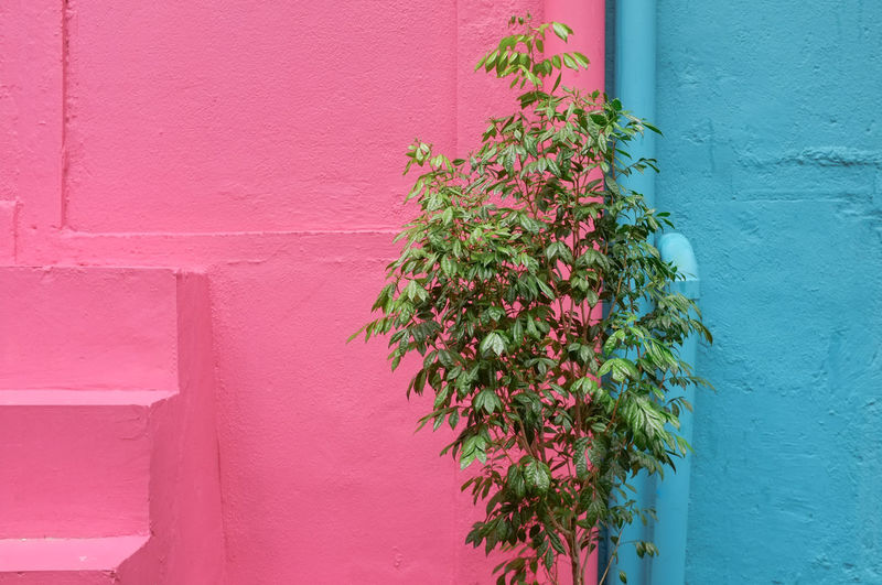 Close-up of pink flowering plant against pink and  blue wall