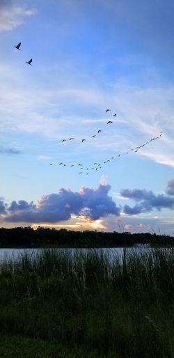 Bird Flying Water Sunset Rural Scene Flock Of Birds Mid-air Silhouette Sky Migrating Geese