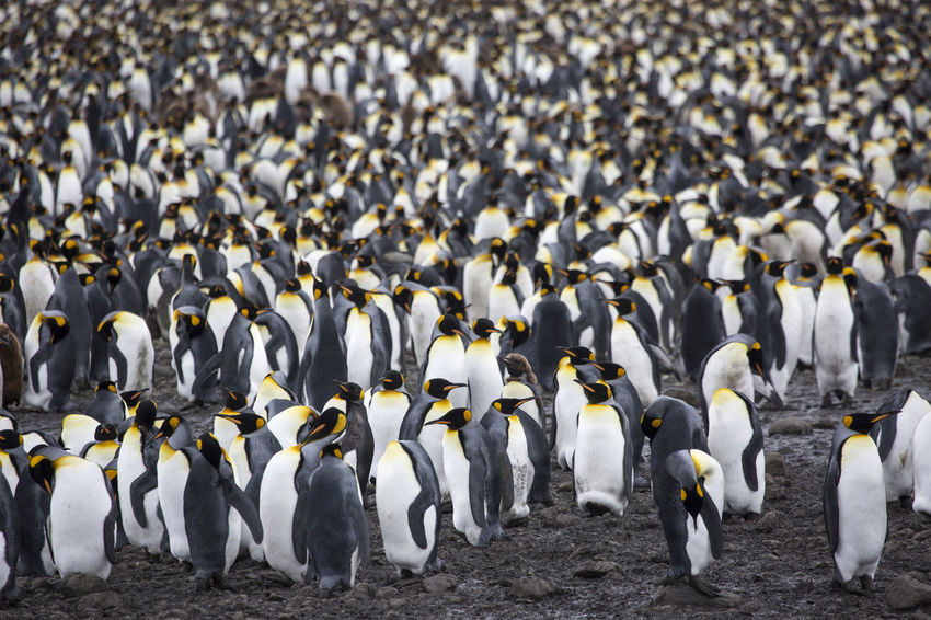 Huge Group of King Penguines at South Georgia Antarctica South Georgia Adventure Animal Themes Animal Wildlife Animals In The Wild Background Beauty In Nature Bird Day Flock Of Birds King Penguins Large Group Of Animals Nature No People Outdoors Penguin Salisbury Plain Togetherness Water White Color Young Penguin