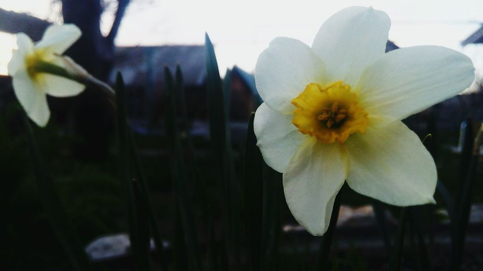 White White Color White Flower Нарцисс Daffodil Daffodils Daffodils Flowers цветы Close-up крупным планом Flower Flowers Spring Flowers No People Petal Springtime Spring Garden White Flowers Beauty In Nature Growth EyeEmNewHere