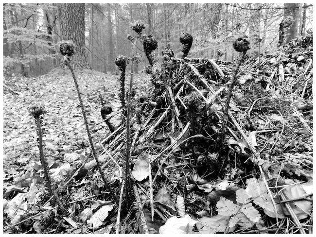 Day Outdoors Nature Growth Tree Plant Forrest Walk Kirriemuir Countryside Kate's Wood Nature Fragility Beauty In Nature Textures Ferns black and white