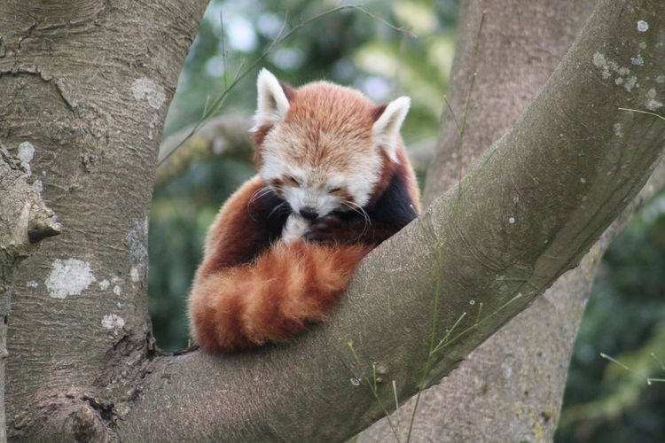 Animal Animals In The Wild Beauty In Nature Day Focus On Foreground Mammal One Animal Tree Tree Trunk Wildlife Zoology Red Panda