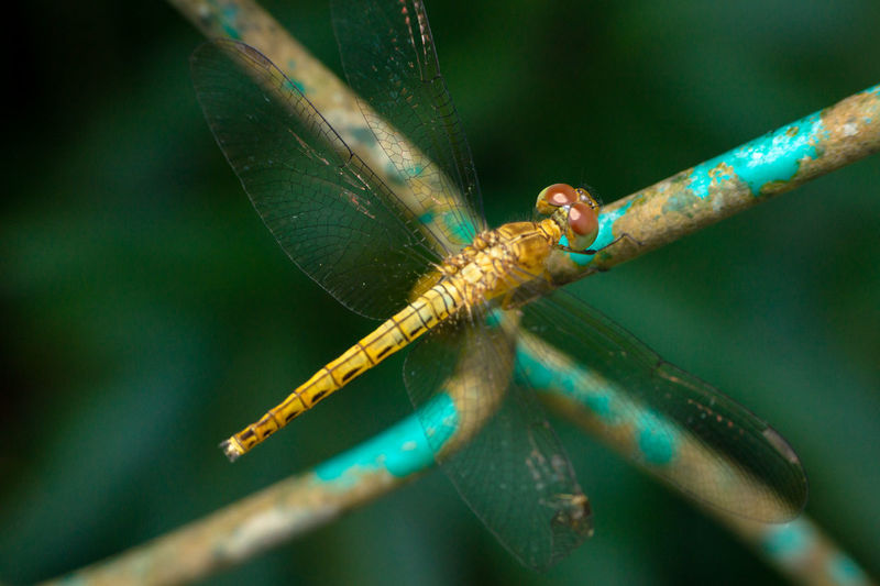 Dragonfly In Malaysia Animals In The Wild Big Eyes Dragonfly Fly Macro Photography Wildlife & Nature Animal Themes Insect Macro Wings