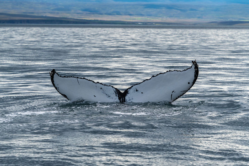 Iceland Animal Animal Body Part Animal Themes Animal Wildlife Animals In The Wild Aquatic Mammal Backgrounds Beautifuliceland Humpback Whale Mammal Marine Nature No People One Animal Outdoors Sea Sea Life Swimming Tail Fin Underwater Water Whale