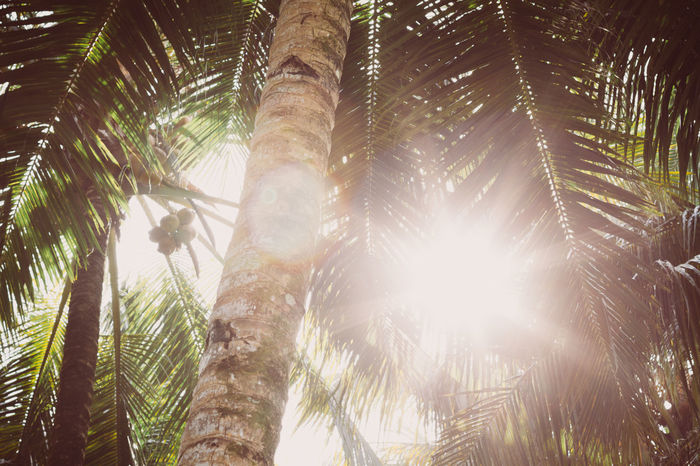 Beauty In Nature Coco Coconut Day Leaf Lens Flare Light Lights Nature Nature Nature_collection No People Outdoors Palm Palm Tree Palm Tree Palm Trees Scenics Sun Sunlight Sunlight Sunrise Sunshine Tranquility Tree