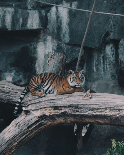 Cat relaxing on tree in zoo