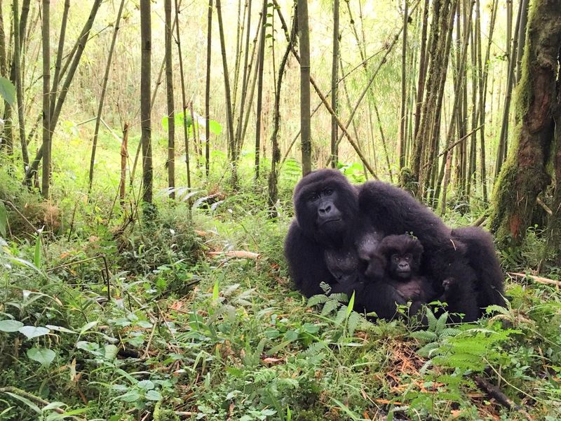Two Is Better Than One Mountain Gorillas Forest Animal Themes Tranquil Scene Non-urban Scene Mammal Rainforest Gorillas Rwanda Volcanoes National Park Mountain Gorilla
