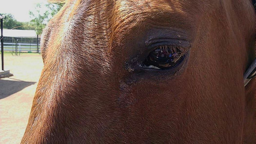Horse Eye Looking At Camera Rescue Horse Closeupshot Chestnut Showing Imperfection