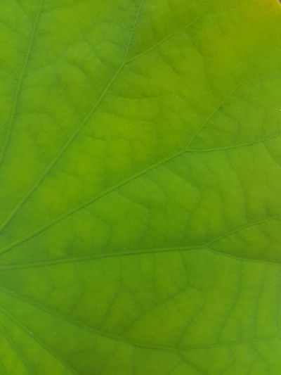 Leaf Nature Close-up Backgrounds Green Color Beauty In Nature Full Frame Outdoors Textured  No People Plant Fragility Day Freshness lotus leaf