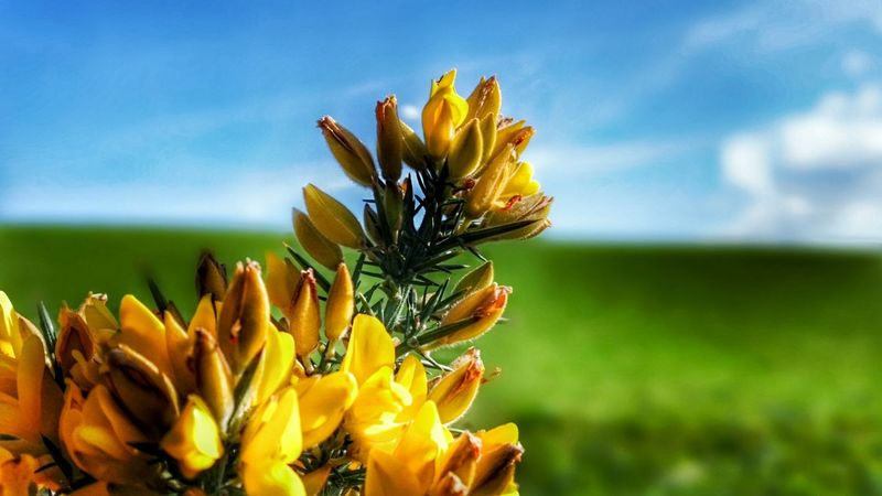Focal Point Gorse Bush Yellow Flower Yellow Flowers Gorse Flowers Yelllow Green And Blue Enjoying Life Blue Sky, Green Fields Flowerporn Flowers Nature_collection Nature_collection The World Needs More Yellow The EyeEm Facebook Cover Challenge Nature_collection Landscape_collection EyeEmNatureLover The Great Outdoors With Adobe