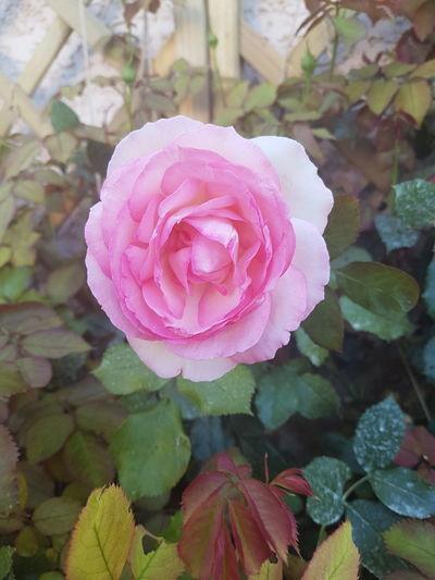 Flower Head Flower Water Peony  Pink Color Petal Rose - Flower Leaf Close-up Plant