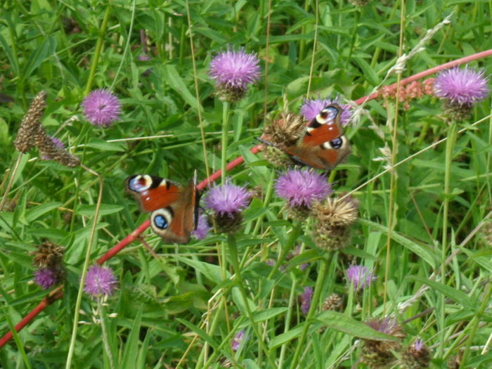 Animal Themes Animals In The Wild Beauty In Nature Butterfly - Insect Countryside Field Flower Fragility Grass Green Color Growth Insect Many. Nature springtime. European peacock butterfly's Two Butterflys. Two Earopean Peacock Butterflys. Wildlife