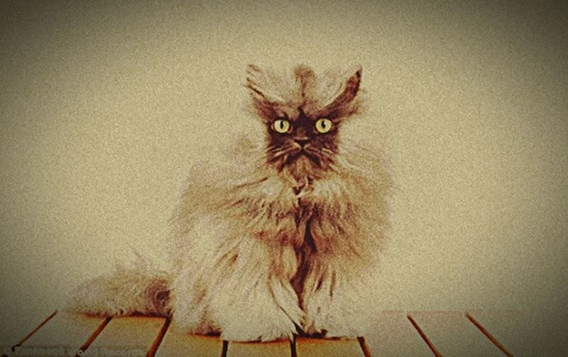 Domestic Cat Pets Animal Themes Indoors  Domestic Animals Looking At Camera Portrait first eyeem photo