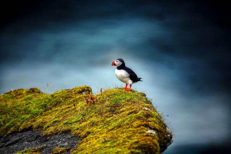 A lundi (puffin)) just after his landing Iceland Puffin Vik I Mydral Animal Beach Bird Blackandwhite Cliff Lundi EyeEmNewHere EyeEmNewHere My Best Photo