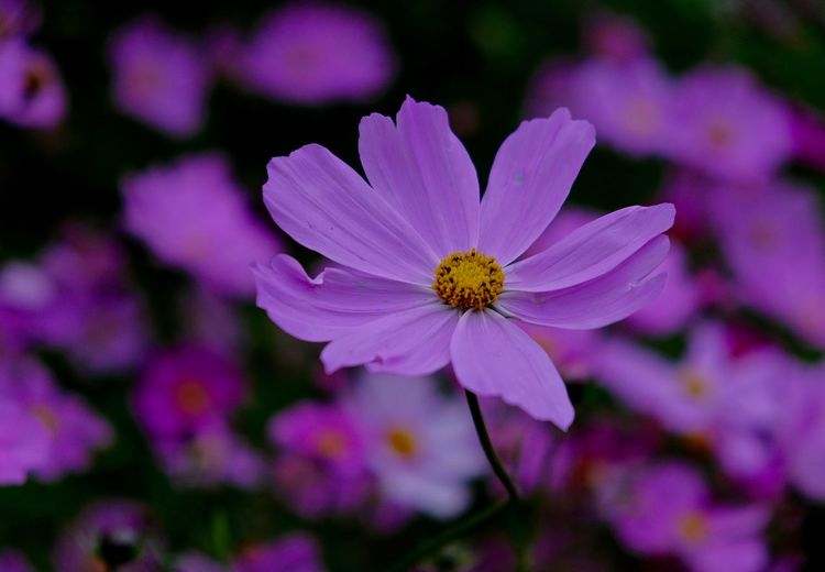 Flowering Plant Fragility Petal Flower Head Plant Close-up Pollen Cosmos Flower Purple No People Focus On Foreground