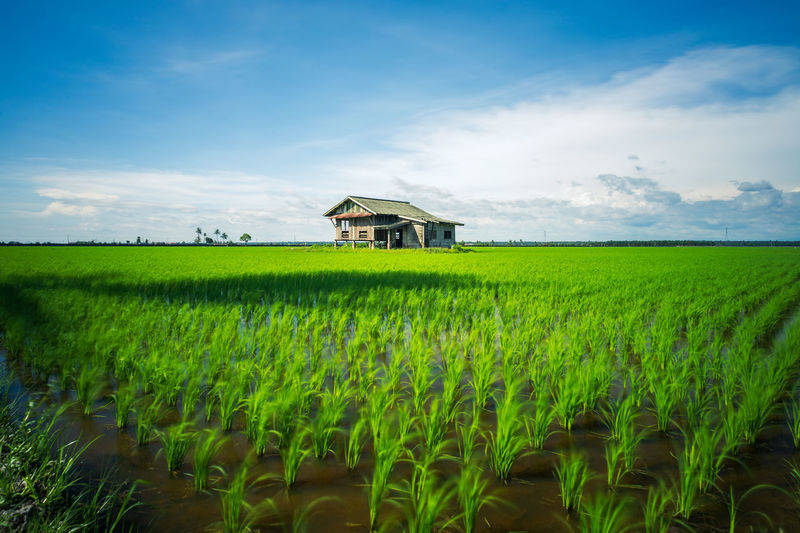 A house in the middle of a paddy field. Agriculture Architecture Beauty In Nature Building Exterior Built Structure Cereal Plant Cloud - Sky Crop  Day Farm Field Grass Green Color Growth Landscape Malaysia Nature No People Outdoors Rice Paddy Rural Scene Scenics Sky Tranquility Wheat