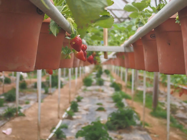 Strawberries Strawberry Cold Days Hydroponics Hydroculture Environment
